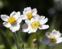 Μερικά λουλούδια του ιαπωνικού anemone στον κήπο Στοκ Εικόνες