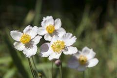 Μερικά λουλούδια του ιαπωνικού anemone στον κήπο Στοκ Εικόνα