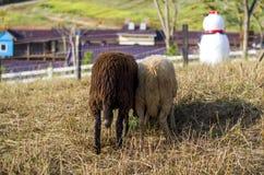 μερικά πρόβατα Στοκ Φωτογραφίες