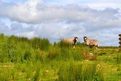 Μερικά σκληραγωγημένα πρόβατα στο Γιορκσάιρ δένουν στοκ εικόνες