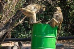 Μερικά baboons που λεηλατούν έναν trashcan στοκ εικόνα