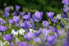 Μερικά bellflowers στο θερινό λιβάδι Στοκ εικόνες με δικαίωμα ελεύθερης χρήσης