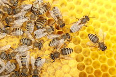 Μερικές μέλισσες χορού Στοκ φωτογραφίες με δικαίωμα ελεύθερης χρήσης