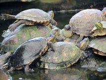 Μερικές χελώνες από κοινού Στοκ εικόνα με δικαίωμα ελεύθερης χρήσης
