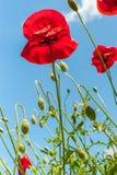 Μερικοί κόκκινη φωτεινή απλή παπαρούνα ανθίζουν κάτω από το φωτεινό μπλε ουρανό, κάθετη φωτογραφία στοκ εικόνα με δικαίωμα ελεύθερης χρήσης