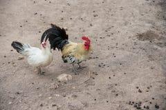 Μερικοί κότα και κόκκορας Στοκ Εικόνα
