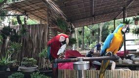 Μερικός χαριτωμένο και ζωηρόχρωμο Macaws απόθεμα βίντεο