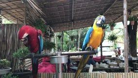 Μερικός χαριτωμένο και ζωηρόχρωμο Macaws φιλμ μικρού μήκους