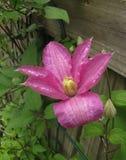Μερικώς-κλειστό ρόδινο λουλούδι Clementis στο φράκτη στοκ εικόνες