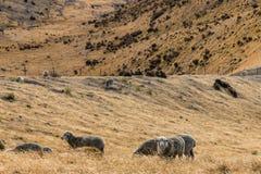 Μερινός πρόβατα κατά τη βοσκή στην κλίση Στοκ φωτογραφίες με δικαίωμα ελεύθερης χρήσης