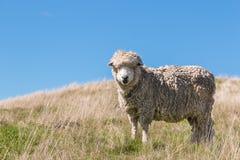 Μερινός πρόβατα κατά τη βοσκή στο χλοώδη λόφο Στοκ Φωτογραφίες
