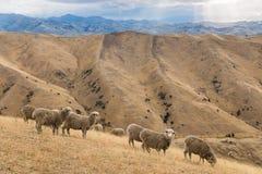 Μερινός πρόβατα κατά τη βοσκή Wither στους λόφους Στοκ Φωτογραφίες