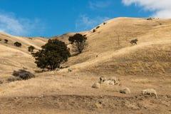 Μερινός πρόβατα που στηρίζονται Wither στους λόφους Στοκ εικόνα με δικαίωμα ελεύθερης χρήσης