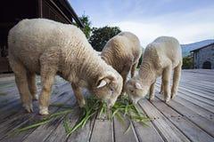 Μερινός πρόβατα που τρώνε τα πράσινα φύλλα χλόης στο αγρόκτημα ζωικού κεφαλαίου Στοκ φωτογραφία με δικαίωμα ελεύθερης χρήσης