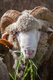 Μερινός πρόβατα που τρώνε τα πράσινα luzy φύλλα χλόης Στοκ Εικόνα