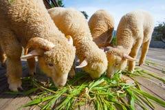 Μερινός πρόβατα που τρώνε τα φύλλα χλόης ruzi στο ξύλινο έδαφος του αγροτικού RA Στοκ εικόνα με δικαίωμα ελεύθερης χρήσης
