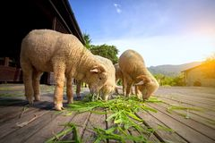 Μερινός πρόβατα που τρώνε τη χλόη luzi στο αγρόκτημα επαρχίας Στοκ εικόνες με δικαίωμα ελεύθερης χρήσης