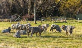Μερινός πρόβατα στη Νέα Ζηλανδία Στοκ Φωτογραφία