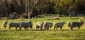 Μερινός πρόβατα στη Νέα Ζηλανδία Στοκ εικόνες με δικαίωμα ελεύθερης χρήσης