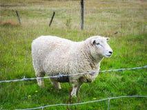 Μερινός πρόβατα στον τομέα στο αγρόκτημα, Νέα Ζηλανδία Στοκ εικόνες με δικαίωμα ελεύθερης χρήσης
