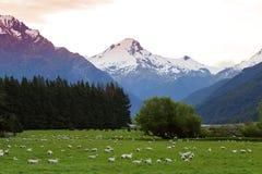 Μερινός πρόβατα της Νέας Ζηλανδίας Στοκ Φωτογραφίες