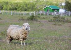 Μερινός πρόβατα Στοκ Φωτογραφία