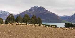 Μερινός πρόβατα Στοκ Φωτογραφίες