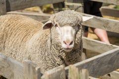 Μερινός πρόβατα Στοκ Εικόνα