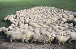 Μερινός πρόβατα Στοκ φωτογραφία με δικαίωμα ελεύθερης χρήσης