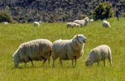 Μερινός sheeps Νέα Ζηλανδία Στοκ φωτογραφία με δικαίωμα ελεύθερης χρήσης