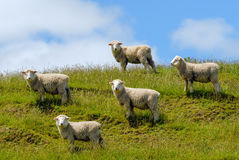 Μερινός sheeps Νέα Ζηλανδία Στοκ Φωτογραφία