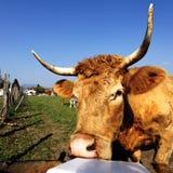 μεσημεριανό γεύμα αγελάδων Στοκ εικόνα με δικαίωμα ελεύθερης χρήσης