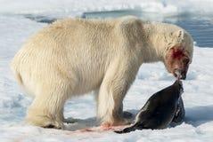 Μεσημεριανό γεύμα για τη πολική αρκούδα Στοκ φωτογραφία με δικαίωμα ελεύθερης χρήσης