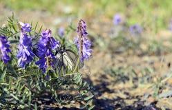Μεσημεριανό γεύμα πεταλούδων Στοκ Φωτογραφίες