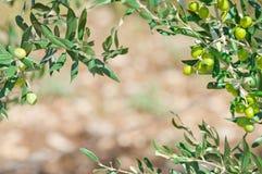 Μεσογειακά ελιές και κλαδί ελιάς με το διάστημα αντιγράφων Στοκ εικόνα με δικαίωμα ελεύθερης χρήσης