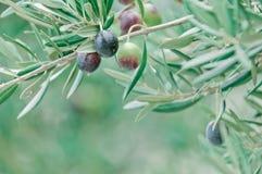 Μεσογειακά ελιές και κλαδί ελιάς με το διάστημα αντιγράφων Στοκ φωτογραφίες με δικαίωμα ελεύθερης χρήσης