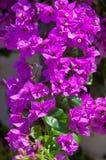Μεσογειακός θάμνος Bougainvillea με τα πορφυρά λουλούδια Στοκ Φωτογραφία