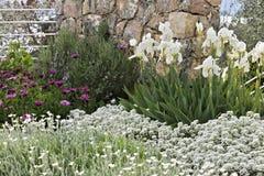Μεσογειακός κήπος Λουλούδια Iberis, αφρικανική μαργαρίτα στοκ εικόνα