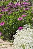 Μεσογειακός κήπος Λουλούδια Iberis, αφρικανική μαργαρίτα στοκ φωτογραφίες με δικαίωμα ελεύθερης χρήσης