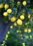 Μεσογειακό άλσος λεμονιών Στοκ Φωτογραφία