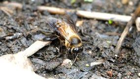 Μετάλλευμα σίτισης μελισσών στο έδαφος απόθεμα βίντεο