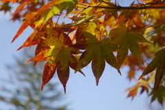 Μεταβαλλόμενο δέντρο σφενδάμνου χρώματος Στοκ εικόνα με δικαίωμα ελεύθερης χρήσης