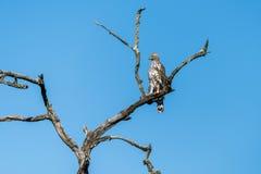 Μεταβλητός αετός γερακιών σκαρφαλωμένος Στοκ φωτογραφίες με δικαίωμα ελεύθερης χρήσης
