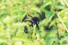 Μεταβλητές κάμπιες πεταλούδων Checkerspot Στοκ Εικόνες