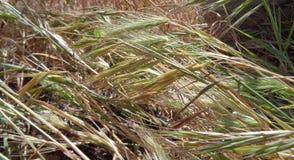 Μεταδιδόμενη μέσω του ανέμου άνοιξη πράσινο Foxxtails στοκ φωτογραφίες με δικαίωμα ελεύθερης χρήσης