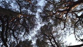 Μετακίνηση καμερών κύκλων από το έδαφος που αντιμετωπίζει τον ουρανό με τα δέντρα πεύκων και το σαφή μπλε ουρανό κατά τη διάρκεια φιλμ μικρού μήκους