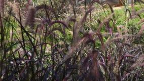 Μετακίνηση της χλόης και των λουλουδιών χλόης από τον αέρα σε υπαίθριο
