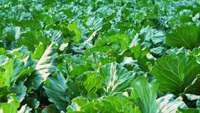 Μετακινηθείτε το λάχανο ή το κουνουπίδι στην οργανική ηλιοφάνεια αγρο απόθεμα βίντεο