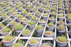 Μεταμοσχευμένα σπορόφυτα σε έναν βρεφικό σταθμό σε δοχείο flowerpots για το ρ Στοκ εικόνες με δικαίωμα ελεύθερης χρήσης