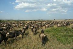 μετανάστευση η πιό wildebeesη Στοκ Εικόνες
